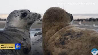 На Каспии освободили запутавшихся в сетях тюленей