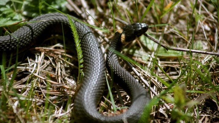 Грибники пожаловались на полчища змей в лесах Новосибирской области