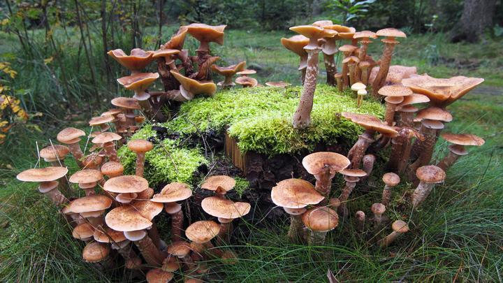 Охота на опята: Новосибирцы делятся фотографиями заросших грибами пней