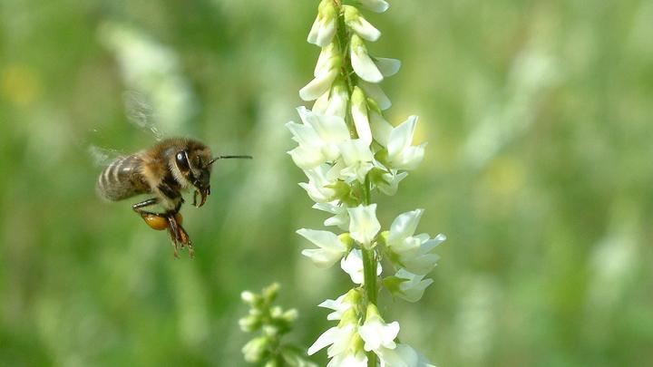 Суздальский пасечник развенчал миф о пьяных пчелах
