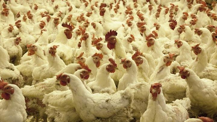 На юге России ожидают появления новых очагов птичьего гриппа