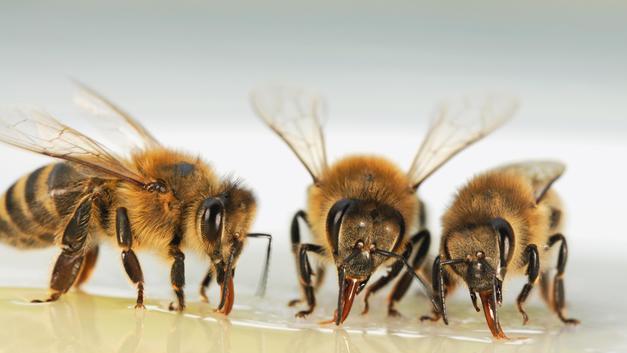 Вымирание пчел в России назвали предвестником «голодного апокалипсиса»
