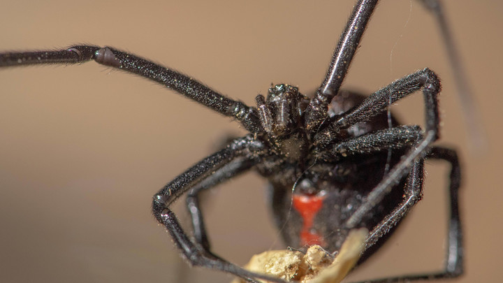 Смертоносные пауки появились в Подмосковье: Черные вдовы терроризируют предместья столицы России - СМИ