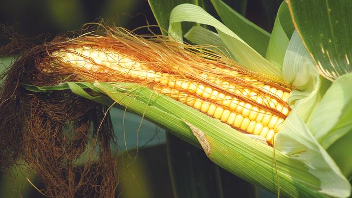 Новая трансгенная кукуруза: Чем нас кормят химические концерны