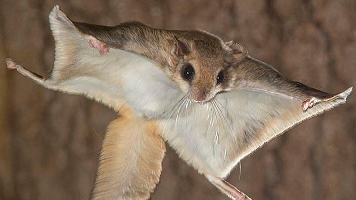 В Курганской области впервые за 9 лет ученый нашел краснокнижных белок-летяг