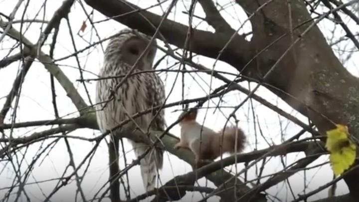 Опасная, но трогательная дружба белочки с совой попала на видео