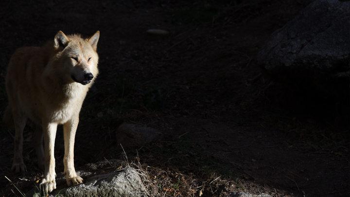 В Новой Москве поймали чистокровную волчицу в ошейнике