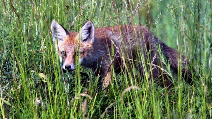 За медведями в бегство от пожаров обратились лисы: Голодные животные в Иркутской области выпрашивают еду у людей - видео
