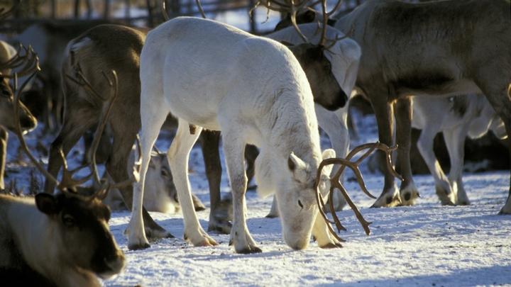 Давай, родной, молодец: В Норильске северного оленя спасли из снежного плена