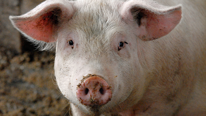 В Анапе на предприятиях Газпрома зафиксирована вспышка африканской чумы свиней