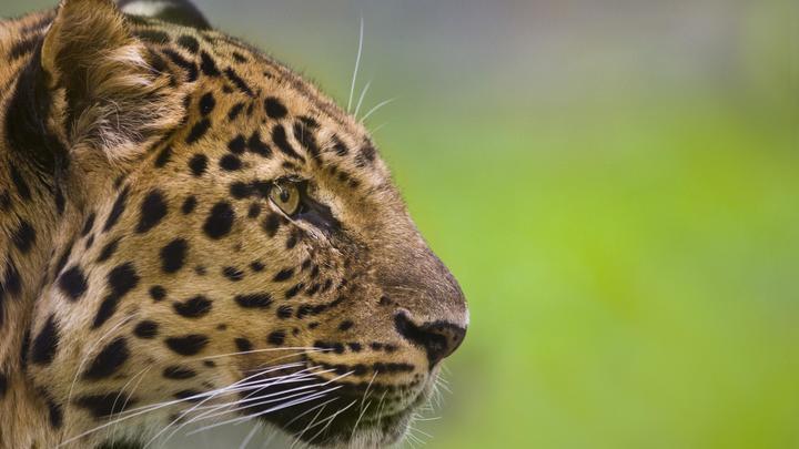 15 новых котят дальневосточного леопарда попались в фотоловушки