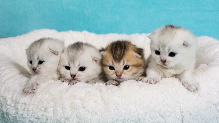 Видео котят из новосибирского питомника набирает миллионы просмотров в TikTok