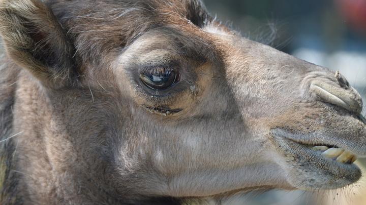 В Китае из-за верблюдов прекратили работу 130 рудных шахт