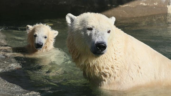 Минприроды впервые узнает точное количество белых медведей в России. Считать будут три года