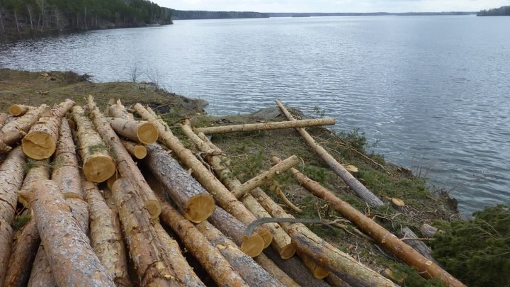 Виноваты чиновники: в Снежинске вырубили сосны ради яхт-клуба