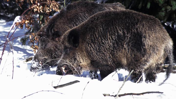 Худшее, что я когда-либо видел: В жестокой расправе над американкой заподозрили русских диких свиней