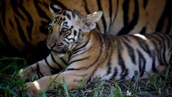 Тигр, тигр: В Великобритании фермер отправил полицейских на охоту за мягкой игрушкой