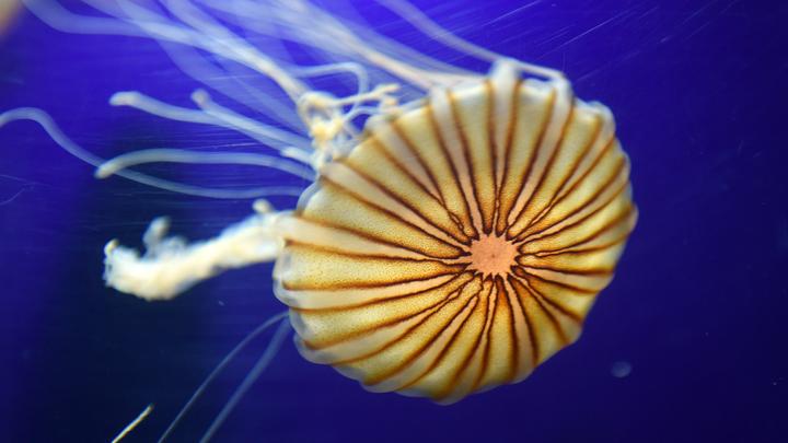 Светится, золотая: В Британии нашли гигантскую медузу размером с человека