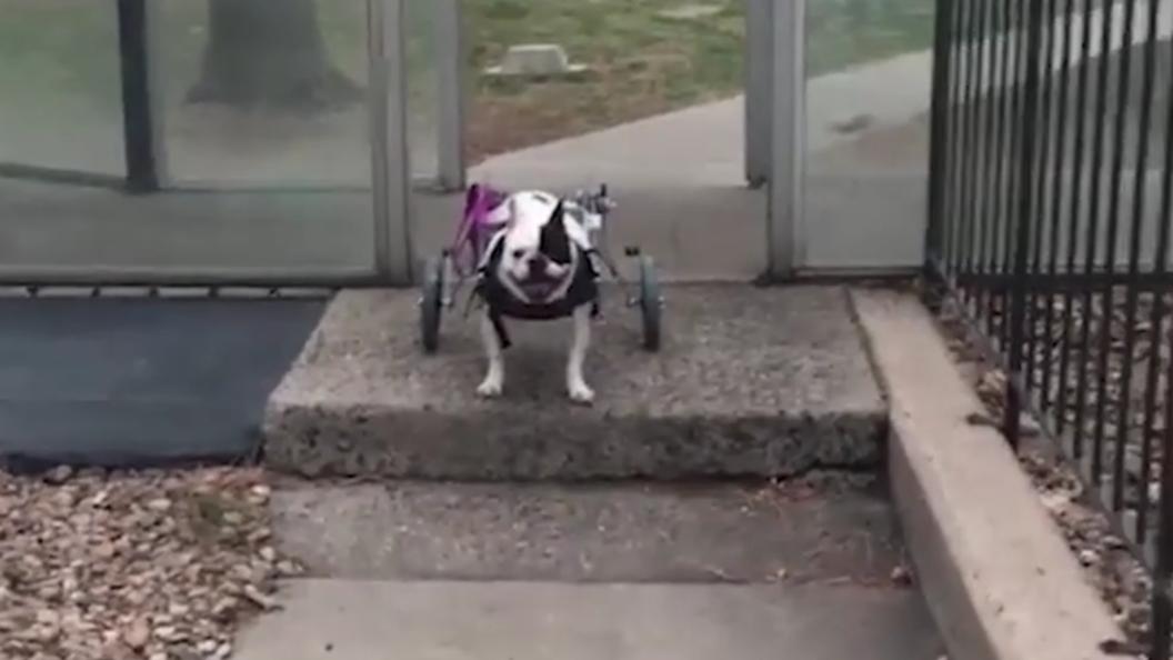 В США псу с параличом лап подарили инвалидную коляску за полторы тысячи долларов