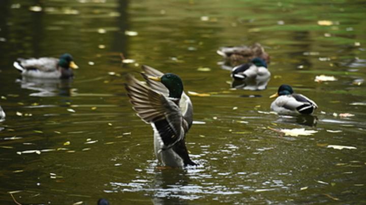 Пруд с утками в Академгородке очистят водяными гиацинтами