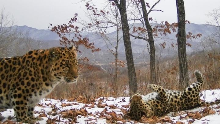 В Приморье нашли скалу из Короля Льва: Её охраняет путинский леопард