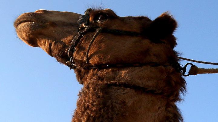 Поле белорусского стадиона отдали под выпас верблюдов