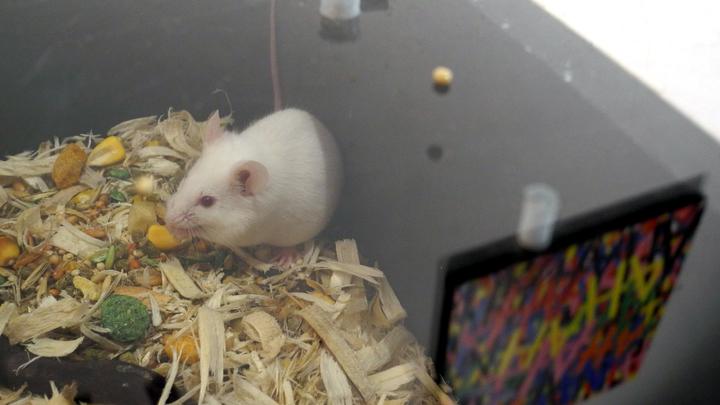 Разговор на повышенных тонах: Мыши общаются с партнерами с помощью ультразвука