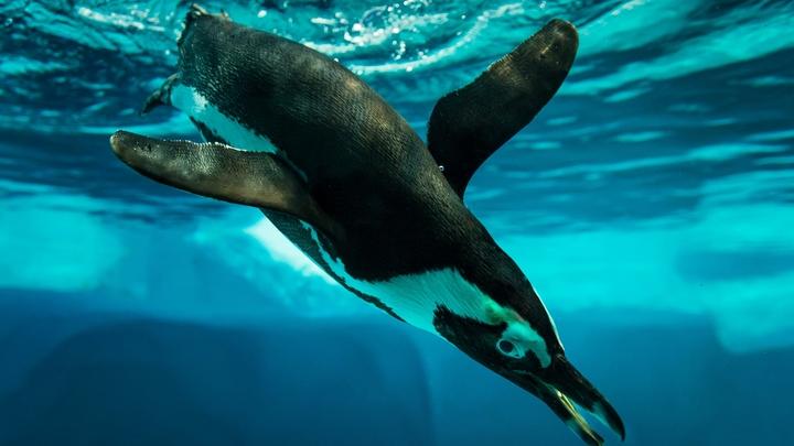 Смешные пингвины Московского зоопарка покорили посетителей, пройдясь парадом - видео
