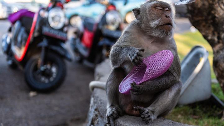 В зоопарках США из-за страха перед Covid-19 стали прививать тигров и обезьян