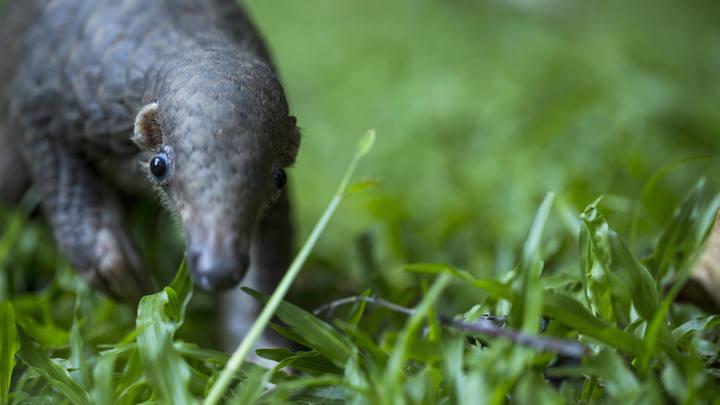 Между летучей мышью и человеком: Учёные назвали промежуточного хозяина коронавируса