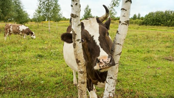 Владельцы коров из Кузбасса стали жертвами аферистов