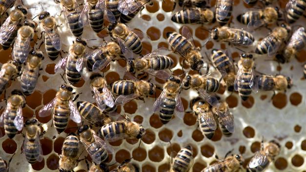 Ученые узнали, через сколько лет на Земле умрет последняя пчела