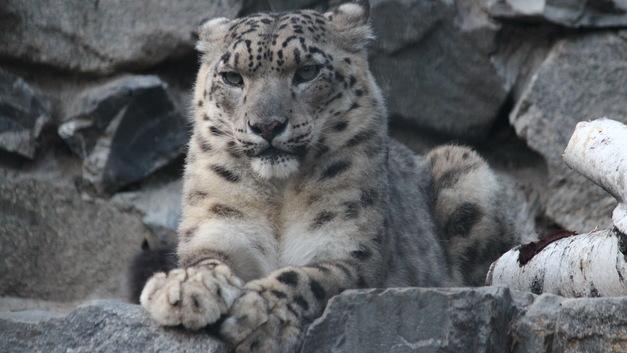 Рождение оленёнка и ленивые кошки: Репортаж из новосибирского зоопарка