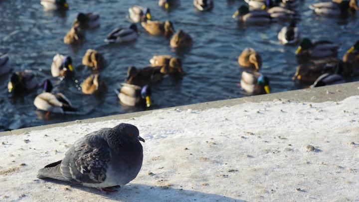 Не кормите голубей: Орнитолог предупредил Москву об опасности летающих крыс