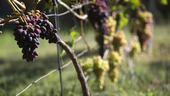 Винодельня Новороссийска заложит около 1 тыс. га новых виноградников