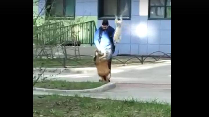 Петербуржцы требуют жестко наказать лютого дрессировщика, избивающего собаку собакой