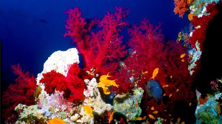С их помощью спасут рифы? Ученые нашли суперкораллы, которые выживают там, где погибают обычные