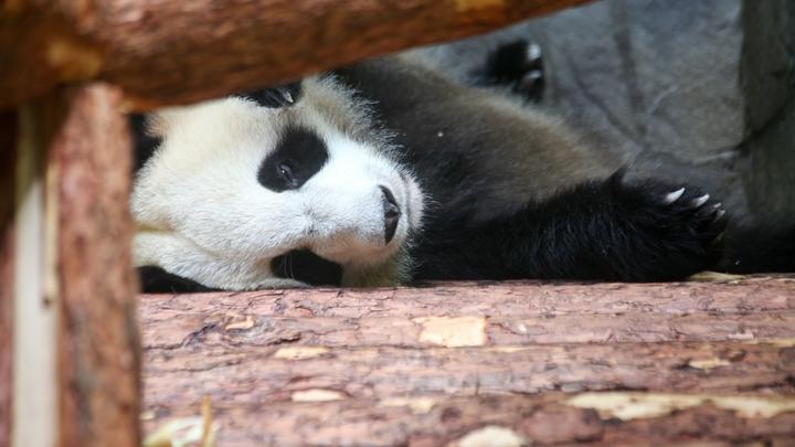 Они такие мягкие!: В Берлинском зоопарке похвастались малышами панд