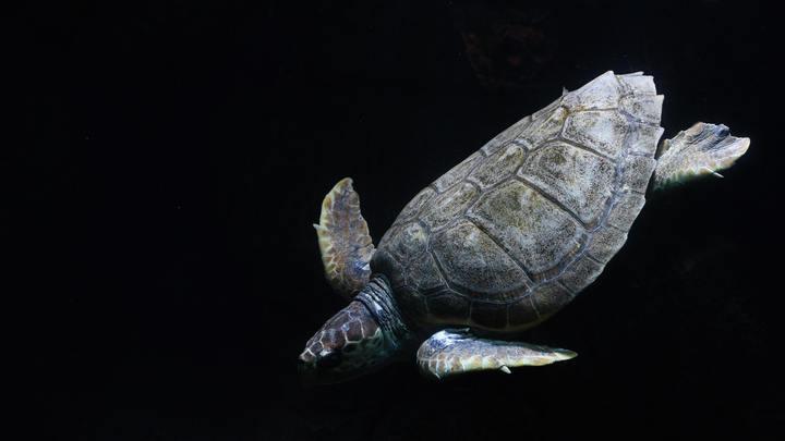 Перезимовала на Мальте и путешествует дальше: Черепаха-одиночка преодолела полмира