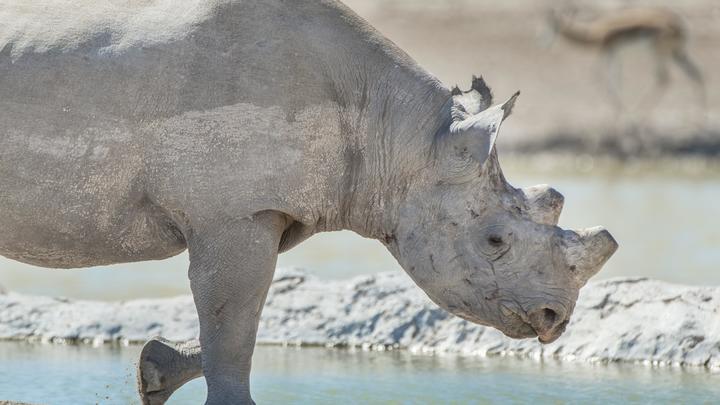 В Москве осудили трёх контрабандистов, привёзших в Россию рога носорога из Красной книги на 30 миллионов рублей