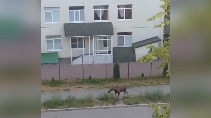 Иваново оккупировали лоси