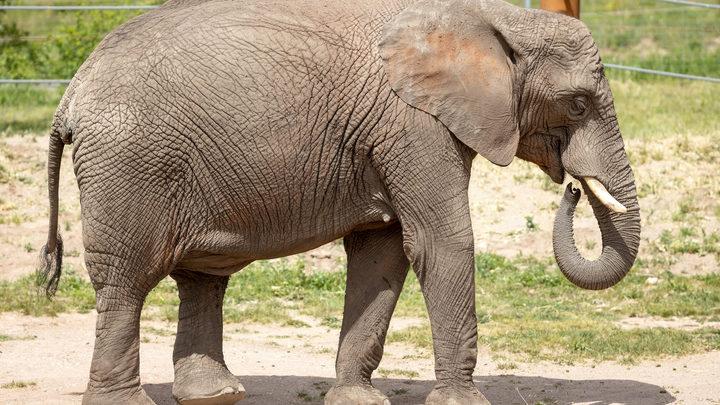 Загадочный мор обрушился на Африку: Трупов слонов уже сотни