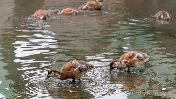 В Ростове рассказали, что могло стать причиной гибели уток в реке Темерник