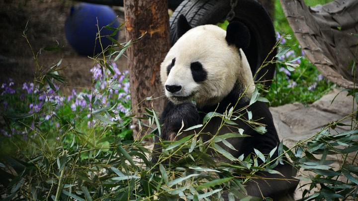 Си Цзиньпин пообещал Путину две панды - для совместных исследований