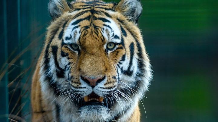 После норок пришёл черёд тигров? В Швеции усыпили хищницу с COVID-19