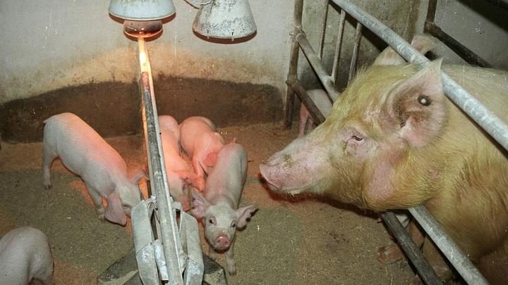 МЧС объявило режим ЧС в Омской области из-за африканской чумы свиней