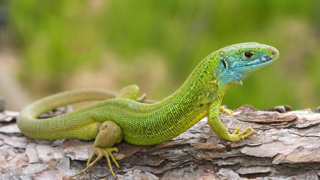 Феномен зеленой крови унекоторых видов ящериц связан стоксичным пигментом— Ученые