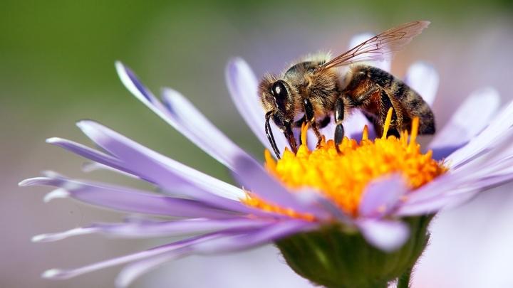 Отредактированная пчела или закат традиционного сельского хозяйства