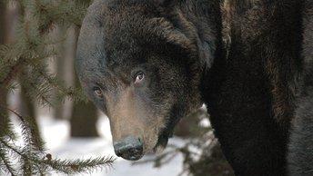 Россия, 21 век: Медведь похитил два ружья у охотника в Иркутской области