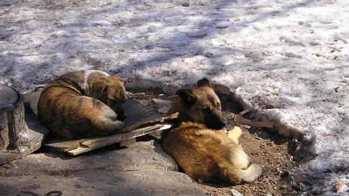 В Челябинской области собаки напали на женщину и разорвали йоркширского терьера